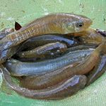 mummichog minnows