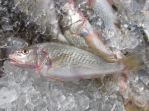 Atlantic croaker fish