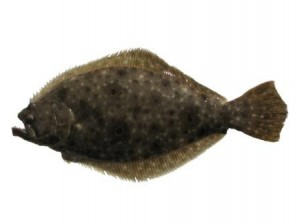 virginia summer flounder