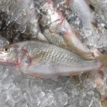 Atlantic croaker fish