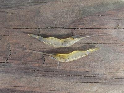 grass-shrimp