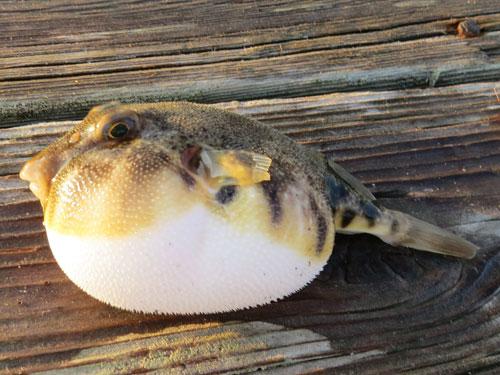 northern puffer fish