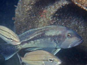 black sea bass and sailors choice